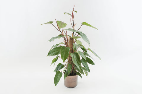 philodendron red emerald totem 6""