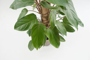 philodendron / red emerald totem 6""
