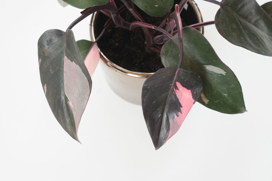philodendron / pink princess 6""