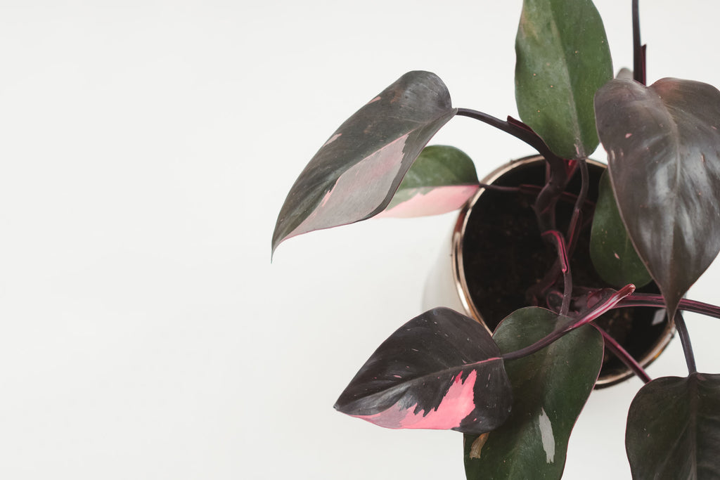pink princess philodendron 6""