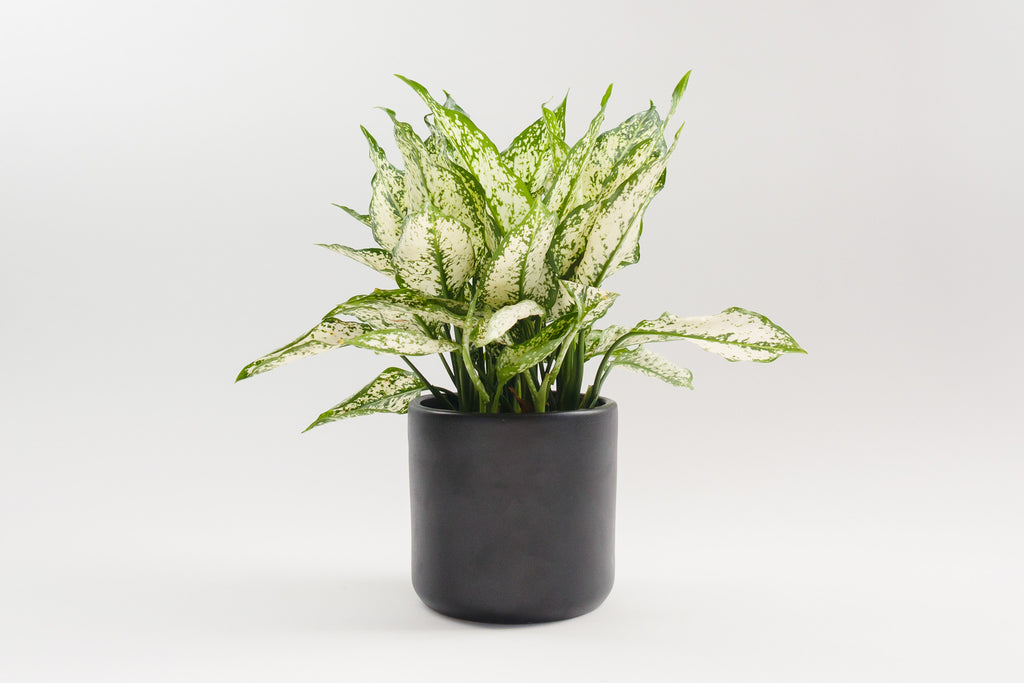 aglaonema / first diamond 6""