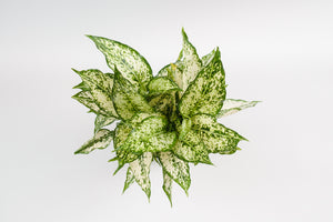 aglaonema / first diamond