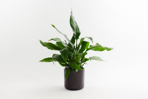 spathiphyllum / peace lily 6""