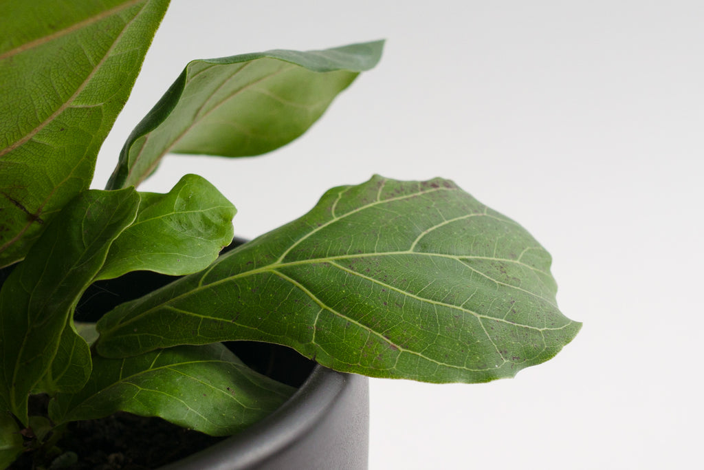 ficus / lyrata (fiddle leaf fig) 6""