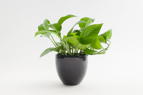 pothos / green queen 4""