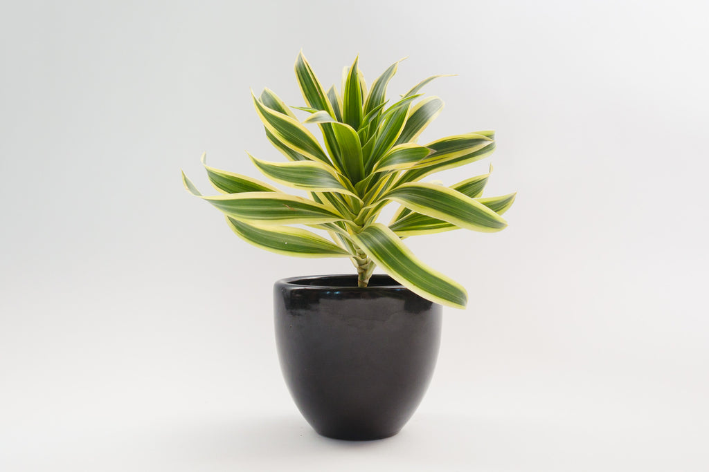 dracaena / song of india 4""