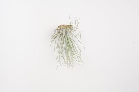 air plant / fuchsii