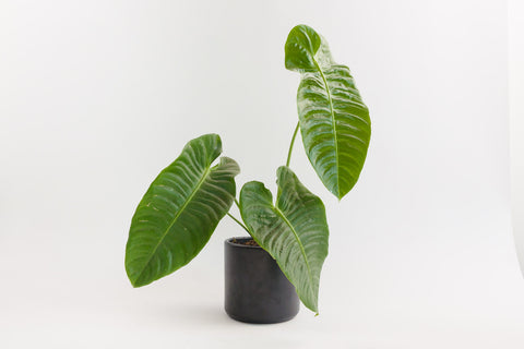 anthurium / veitchii lang 8""