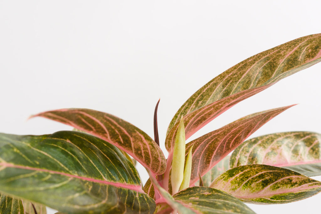 aglaonema / tropic passion 6""