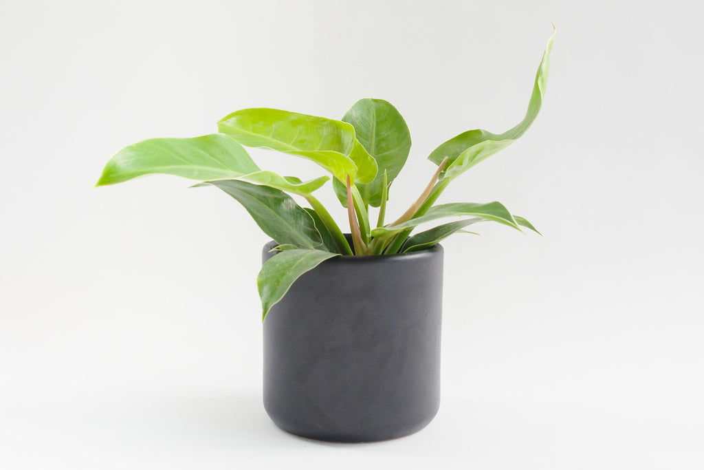 philodendron / moonlight 6""
