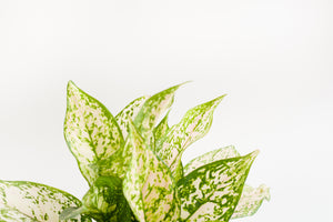 aglaonema / etta rose 6""