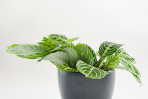 maranta / lemon lime