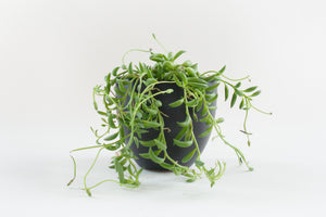 senecio / string of bananas