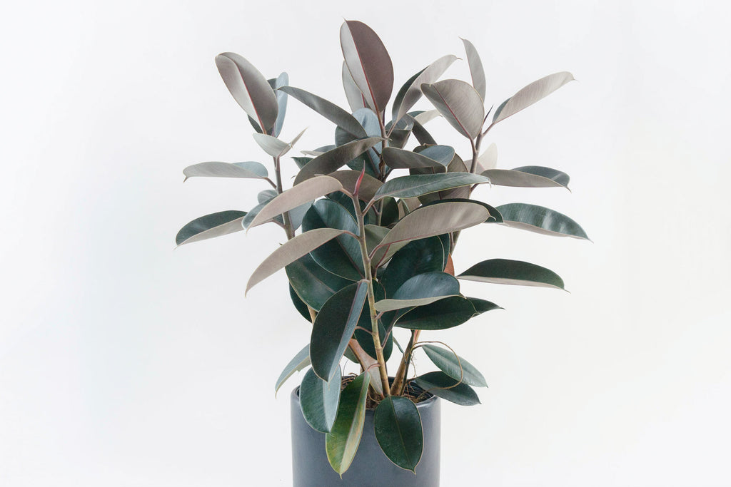 ficus / decora burgundy (rubber tree) 8""