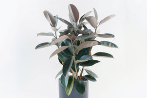 ficus / decora burgundy (rubber tree)