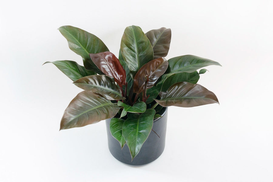philodendron / hybrid