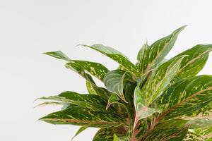 aglaonema / butterfly