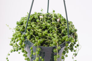 senecio / string of pearls 6""