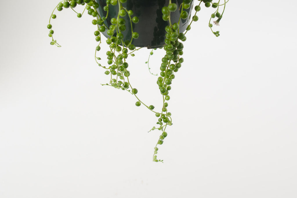 string of pearls 6""