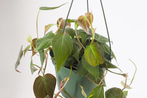 philodendron / micans 6""