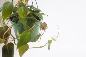 philodendron / micans