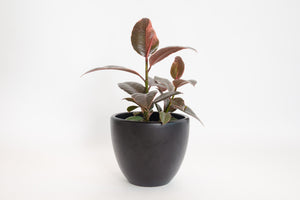 ficus / rubber tree ruby 6""