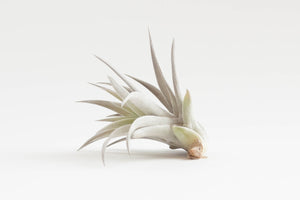 air plant / tillandsia harrisii