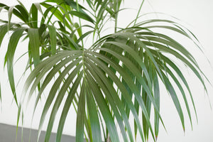 palm / howea forsteriana (kentia)