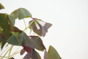 oxalis triangularis / purple shamrock