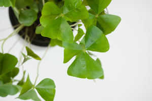 oxalis triangularis / green shamrock