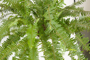 fern / nephrolepis exaltata (kimberly queen)