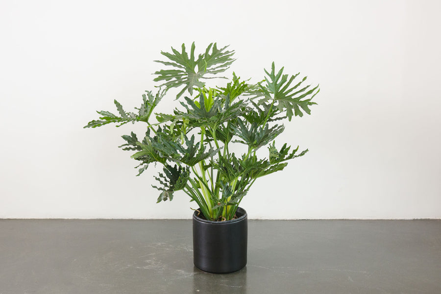 philodendron / selloum