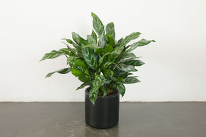 aglaonema / tigress