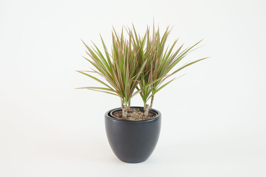 dracaena / marginata bi-color