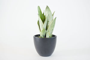 sansevieria / night owl