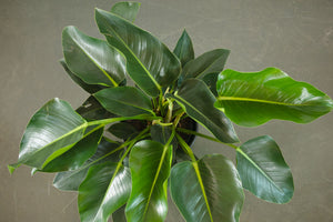 philodendron / congo green