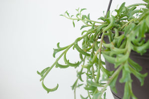 senecio / string of dolphins