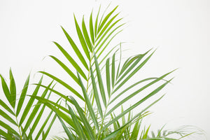 palm / dypsis lutescens (areca)