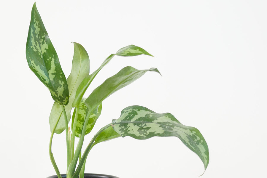 aglaonema / cutlass