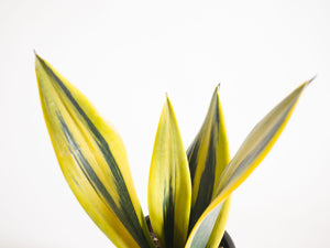 sansevieria / golden flame