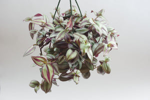 tradescantia / creeping purple heart