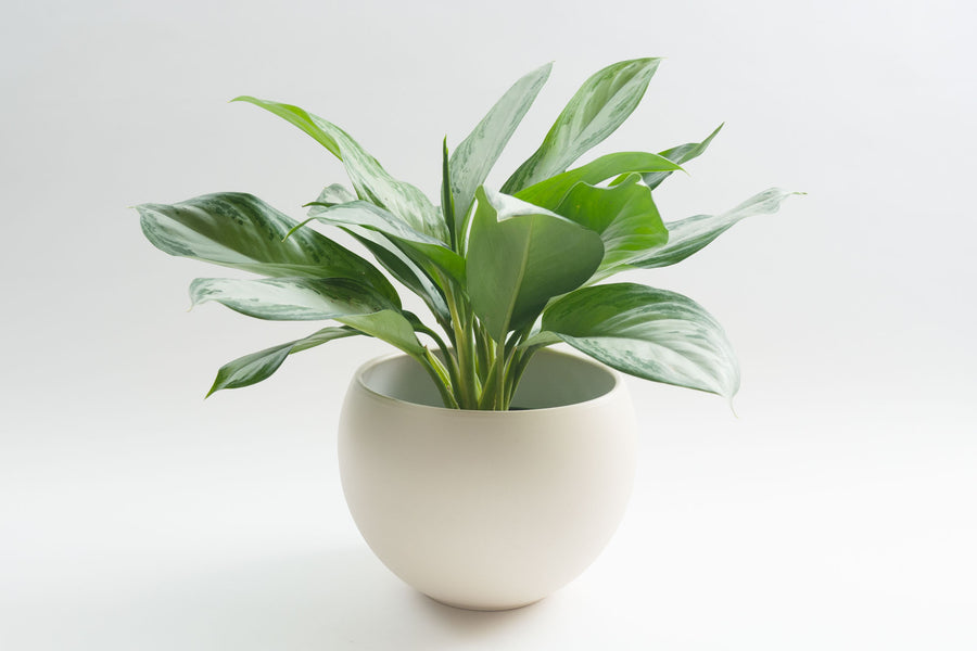 Cream Luna Sphere - Pot / Planter