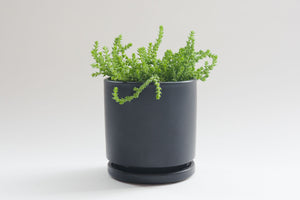 crassula / watch chain