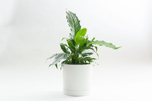 Matte White Flush with Tray - Pot / Planter