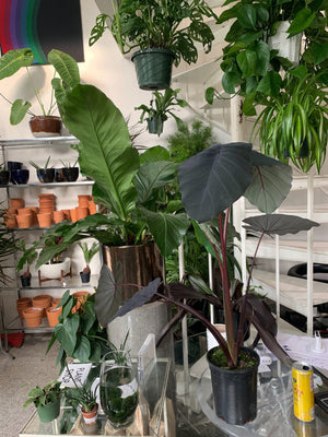 colocasia / black magic 6""
