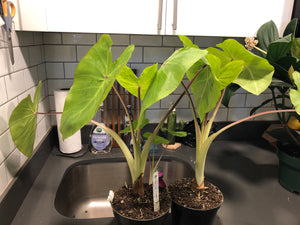 colocasia / maui gold 6""