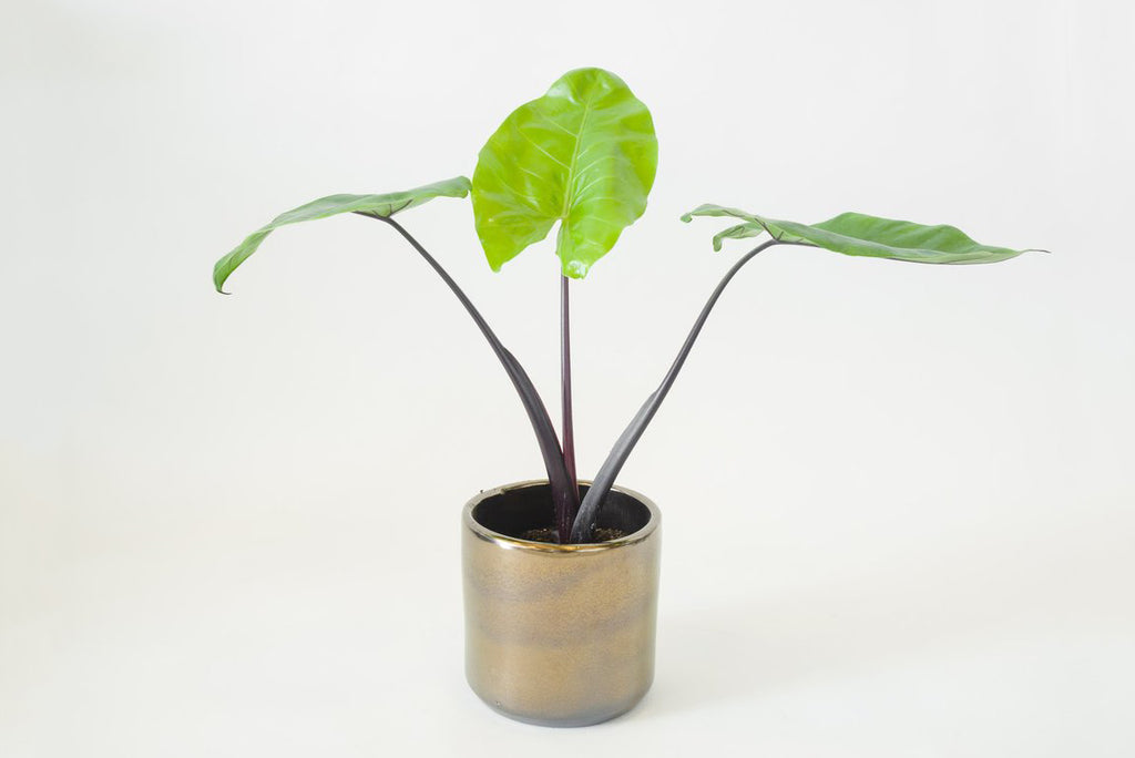 alocasia / black stem 6""