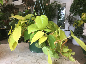 philodendron / heart leaf neon