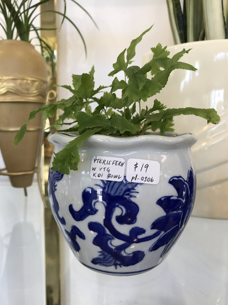 pteris fern w koi bowl