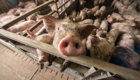 factory farming animal conditions